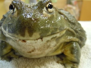 Happy African Bulfrog