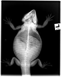 x-ray showing enlarged ovaries